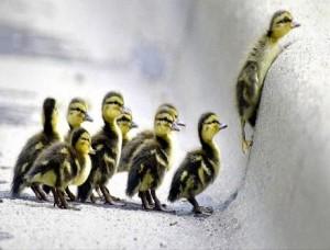 Leadership ducklings